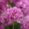 Armeria pseud. Ball...ina Pink R